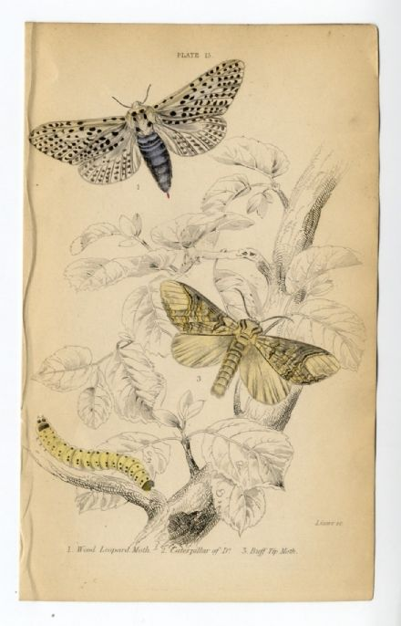 1836 MOTHS JARDINES Antique Print WOOD LEOPARD Buff Tip CATERPILLAR Emgraved by William Lizars HAND COLOUR